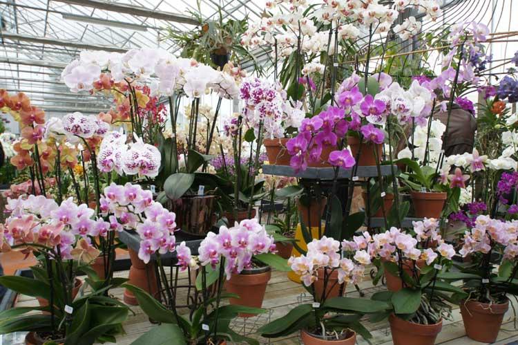 orchidee boissy